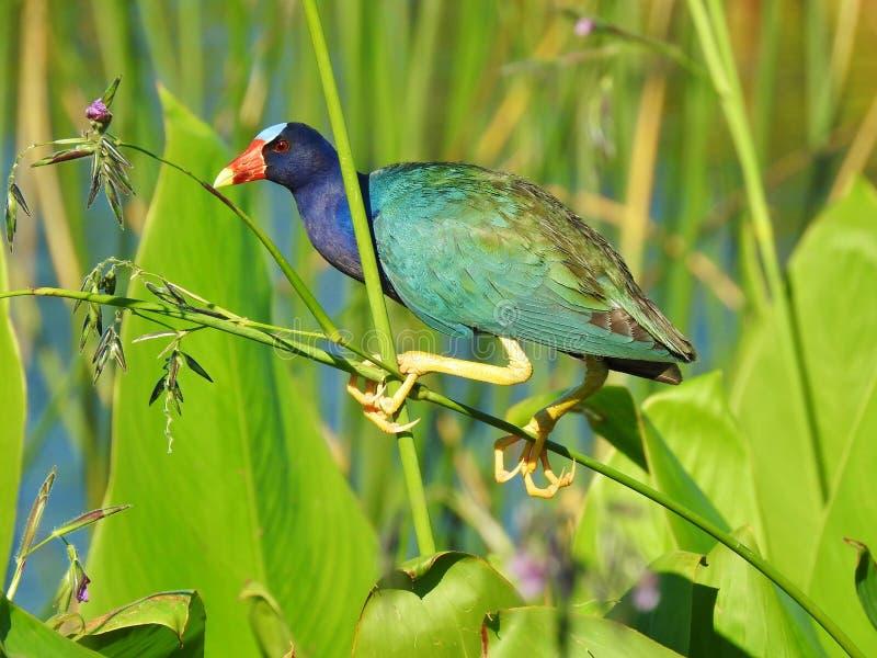 American Purple Gallinule Perched stock image