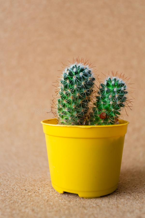 My Beautiful Cactus. Image of a beautiful cactus with backgrouns. Many colors and very nice royalty free stock photos