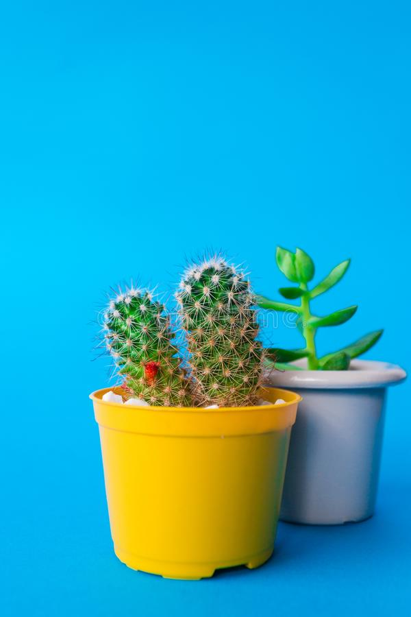 My Beautiful Cactus. Image of a beautiful cactus with backgrouns. Many colors and very nice royalty free stock photography