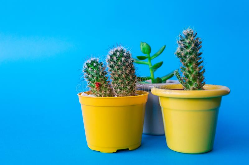 My Beautiful Cactus. Image of a beautiful cactus with backgrouns. Many colors and very nice royalty free stock image