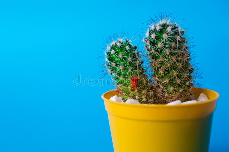 My Beautiful Cactus. Image of a beautiful cactus with backgrouns. Many colors and very nice royalty free stock photo