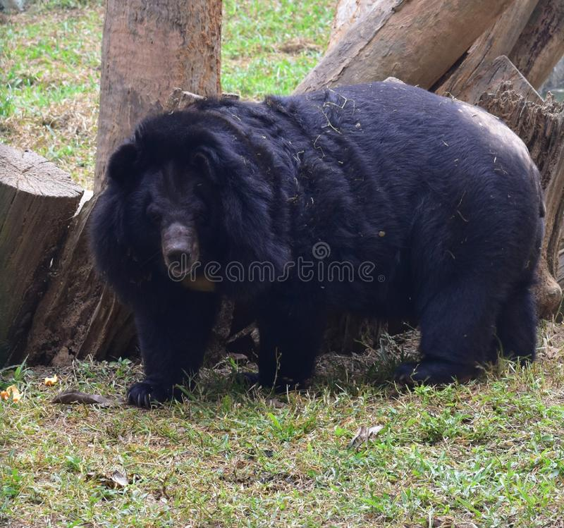 This is an image of a beautiful and dangerous Asian or Himalayan black bear in india royalty free stock photos