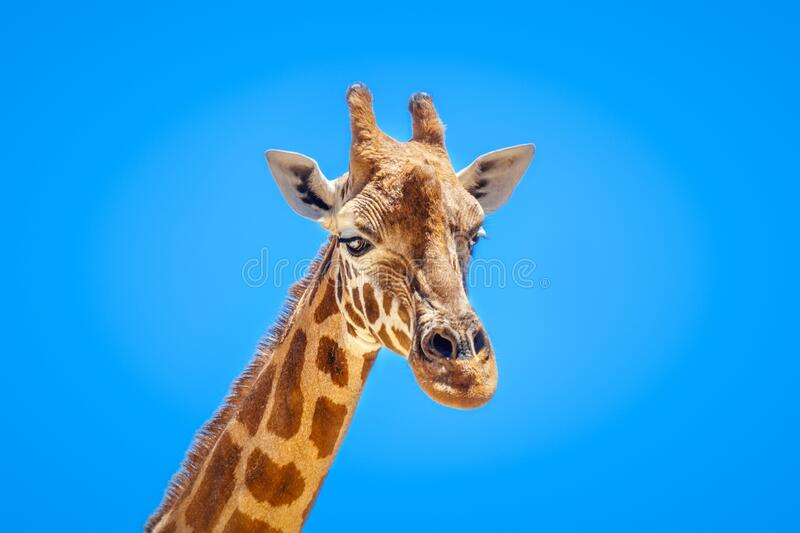 Giraffe portrait isolated in front of a blue sky royalty free stock image