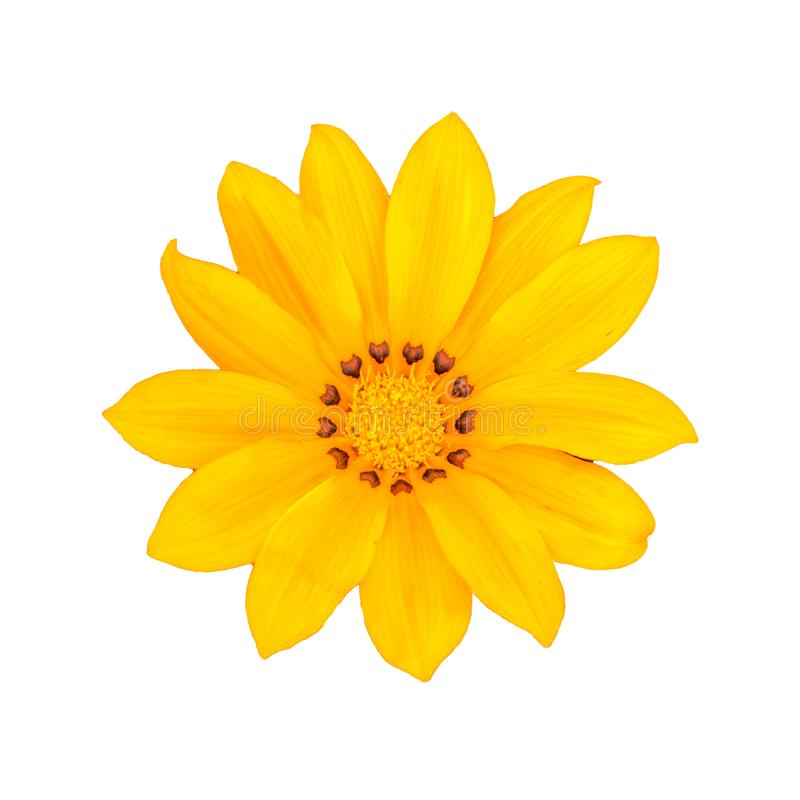 A Beautiful Yellow Gazania Flower in White Background stock image