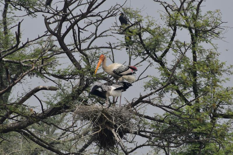 This is an image of beautiful painted storks birds and their nest in keoladeo national park in rajasthan india royalty free stock images