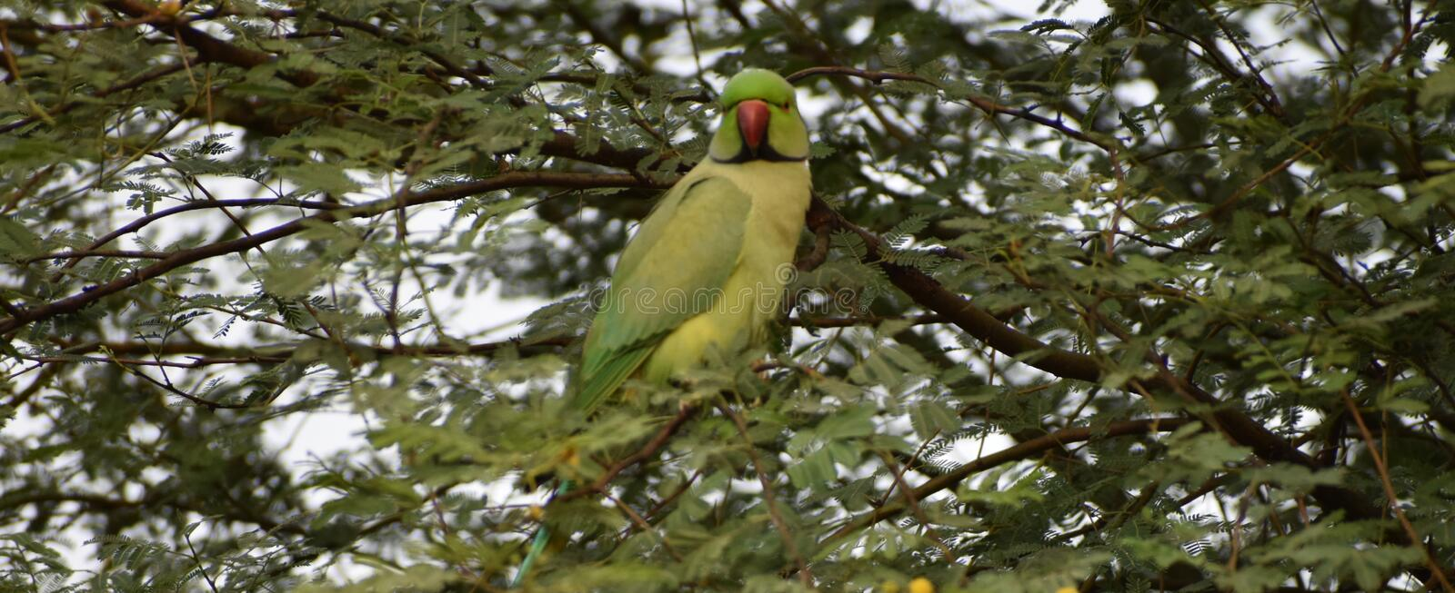 This is an image of beautiful parrot bird or parakeet or macaw bird on the tree in keoladeo national park in rajasthan india royalty free stock image