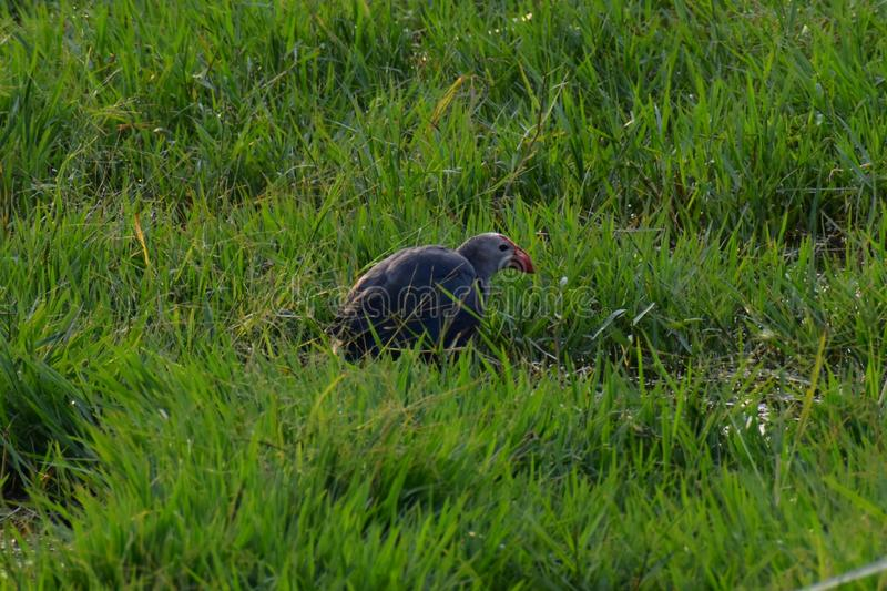 This is an image of beautiful purple swamphen bird in the grassfield in keoladeo national park in rajasthan india stock image