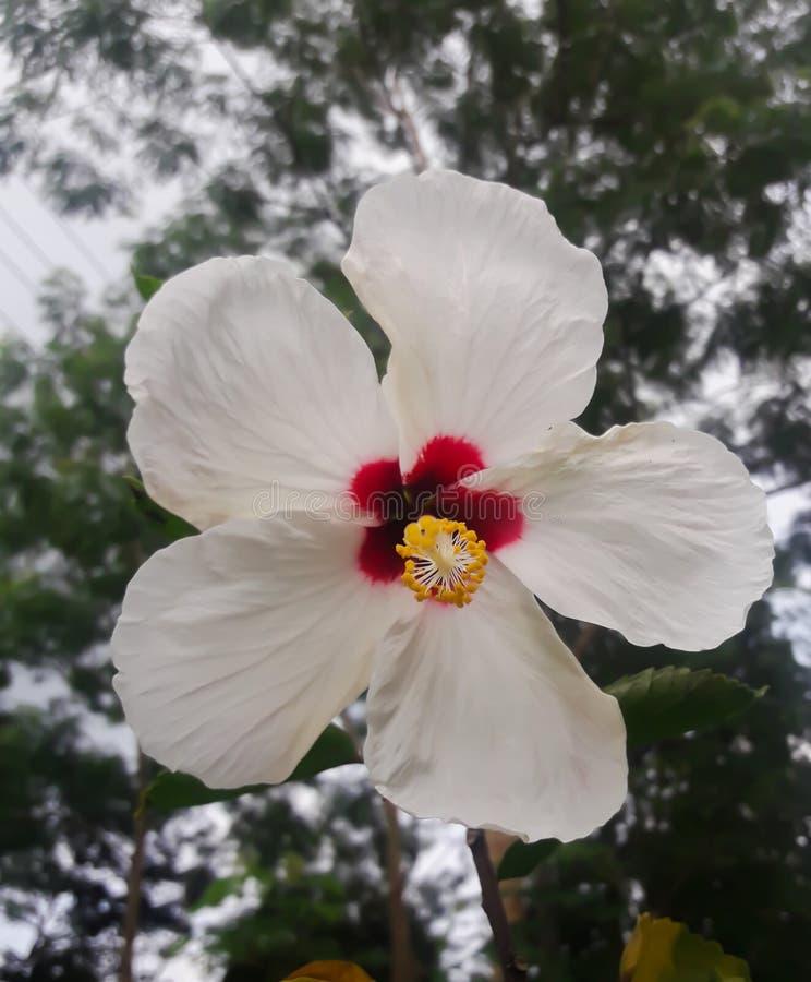 This is an image of beautiful white China rose flower, hibiscus. Whitechinaroseflower, whiteflower, whitejaba, jabaphool, background, beauty, scenery, scenic royalty free stock images