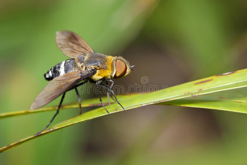 Image of bee fly on a green leaf. Insect. Animal stock photos