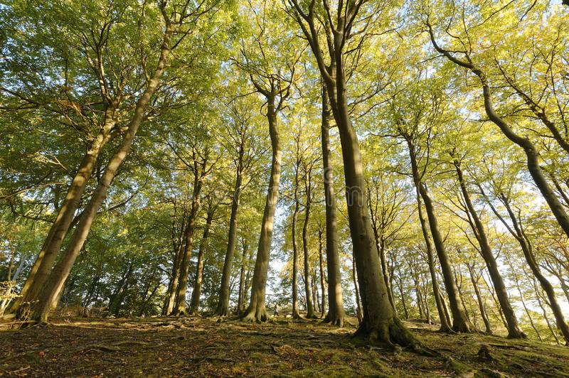 Looking up at large Beech trees. perspective sharpenhoe england europe. Image of beech trees taken in Sharpenhoe clappers, Sharpenhoe, Bedfordshire, england stock photography