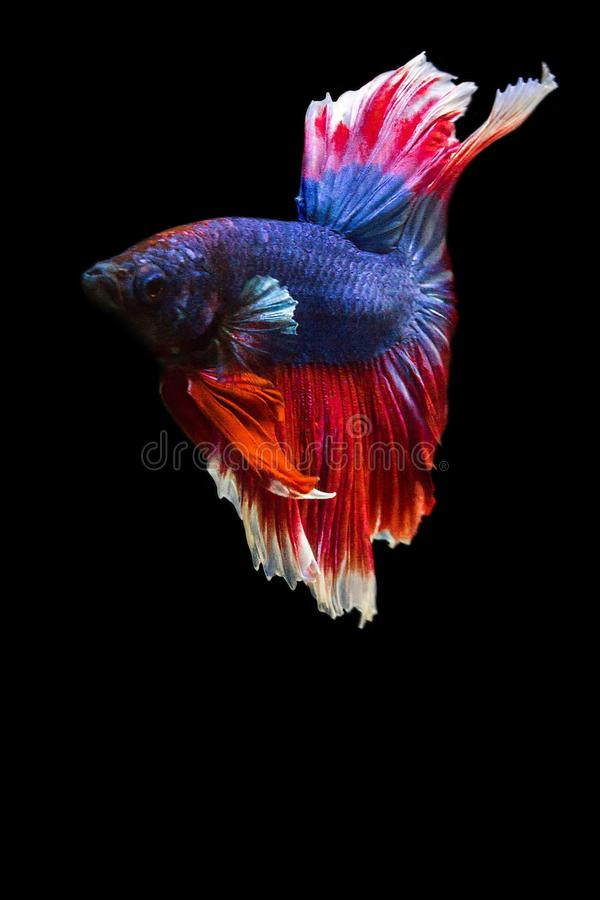 image of betta fish isolated on black background, action moving royalty free stock photo