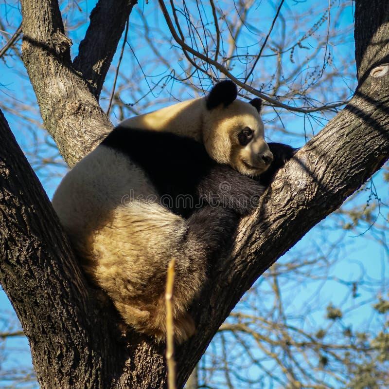 Big black and white panda bear sitting on a tree stock photography