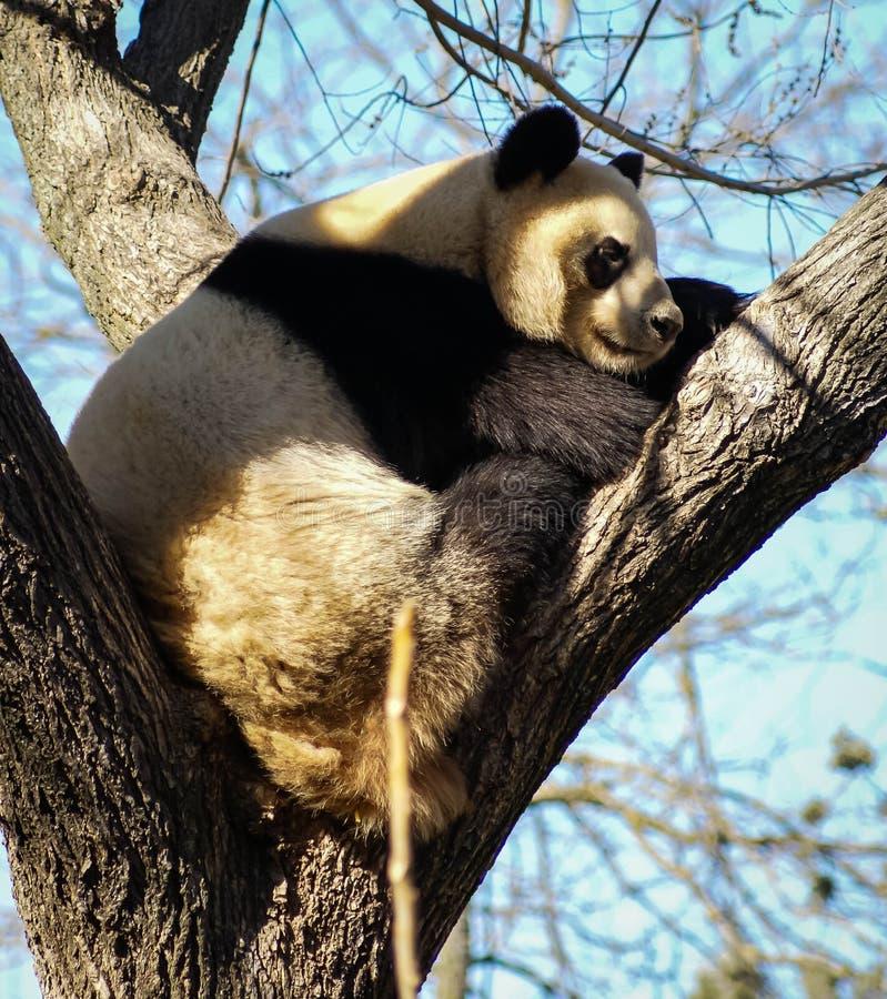Big black and white panda bear sitting on a tree royalty free stock photo