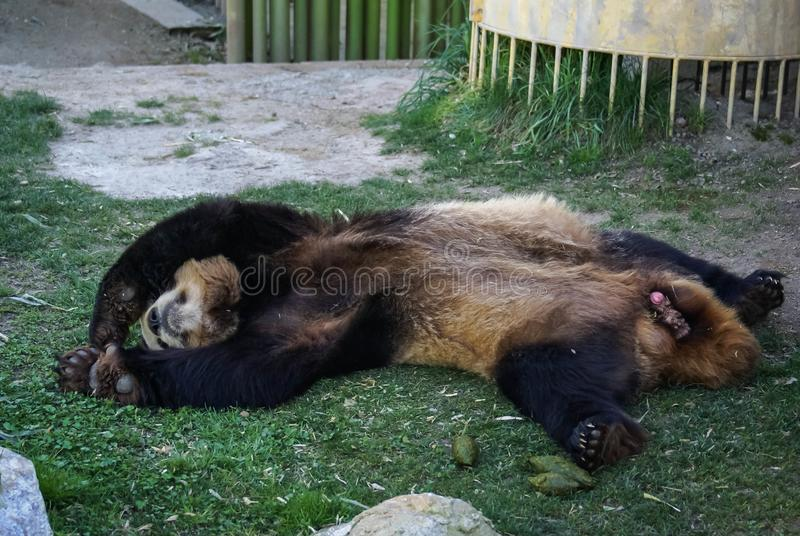 Big black-white panda bear sleeping with paws up give up stock photography