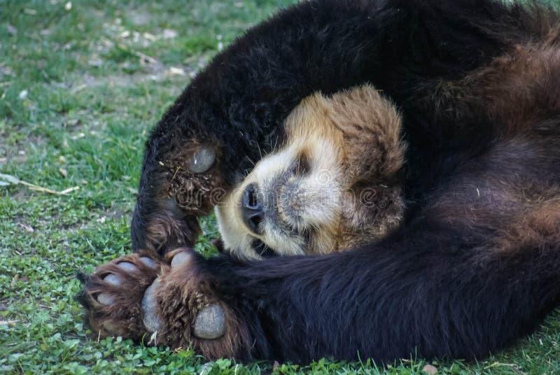 Big black-white panda bear sleeping with paws up give up royalty free stock photo