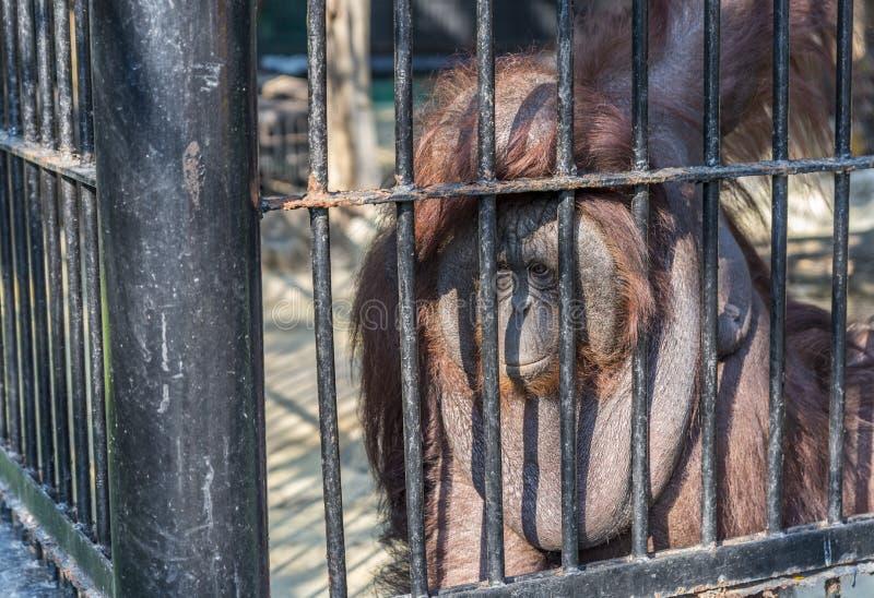 Big orangutan orange monkey in the cage stock images