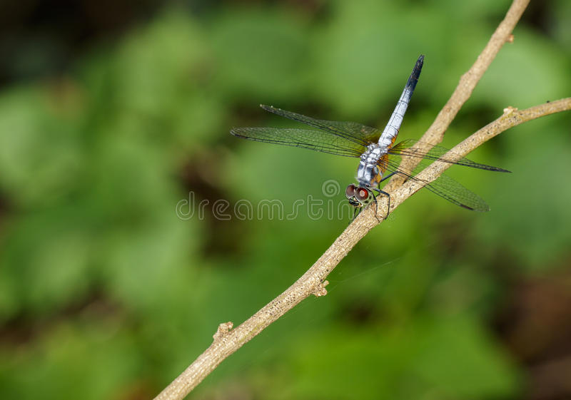 Image of blue dasher butterflyBrachydiplax chalybea on green l stock photo