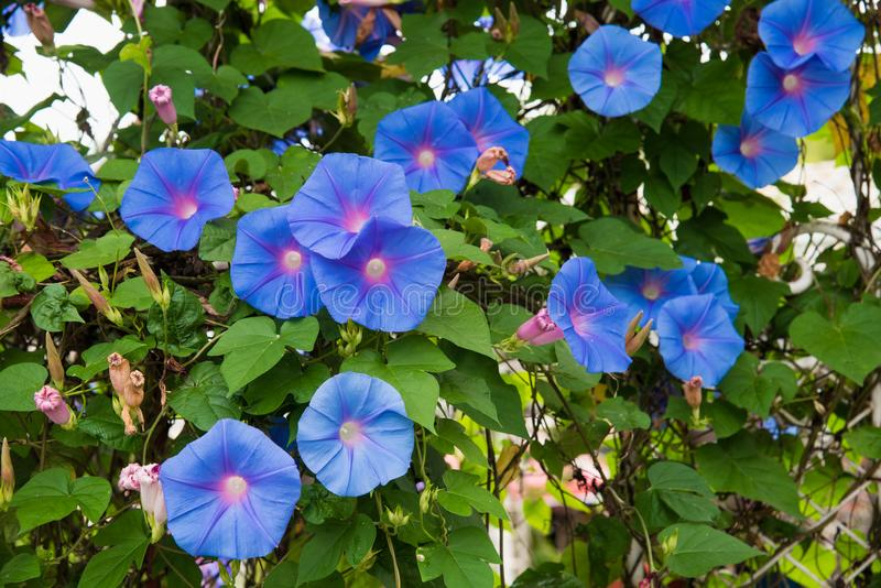 Image of a Blue flower of Morning Glory Ipomoea in the garden.  royalty free stock photos