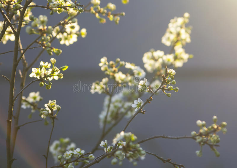 Image blurred background blooming branch of a plum in the spring stock photography