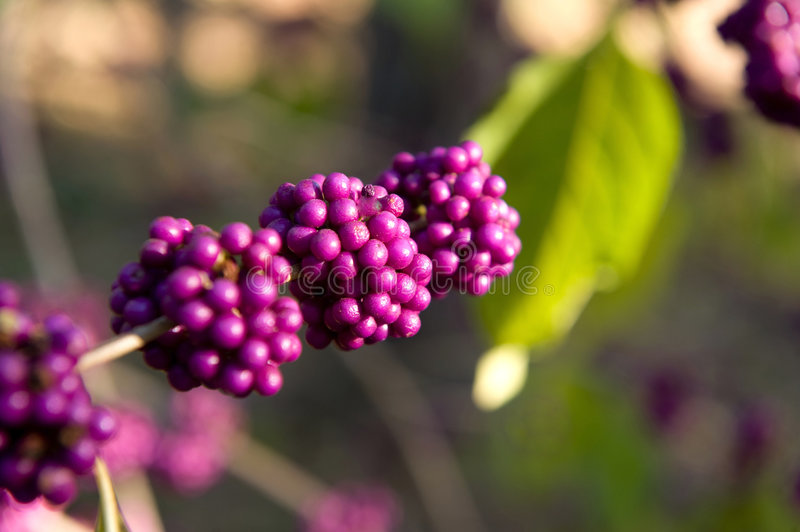 Image of boysenberries royalty free stock images