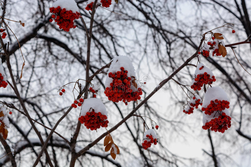 The image with the bright red Rowan berries under the snow stock images