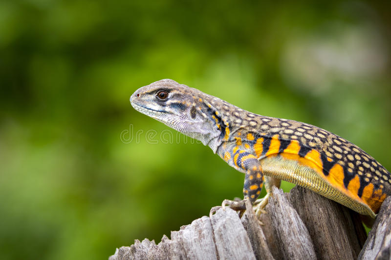 Image of Butterfly Agama Lizard Leiolepis Cuvier. On nature background. . Reptile Animal royalty free stock photography