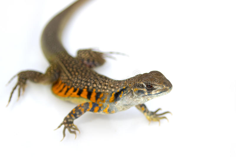 Image of Butterfly Agama Lizard Leiolepis Cuvier on white back stock photos