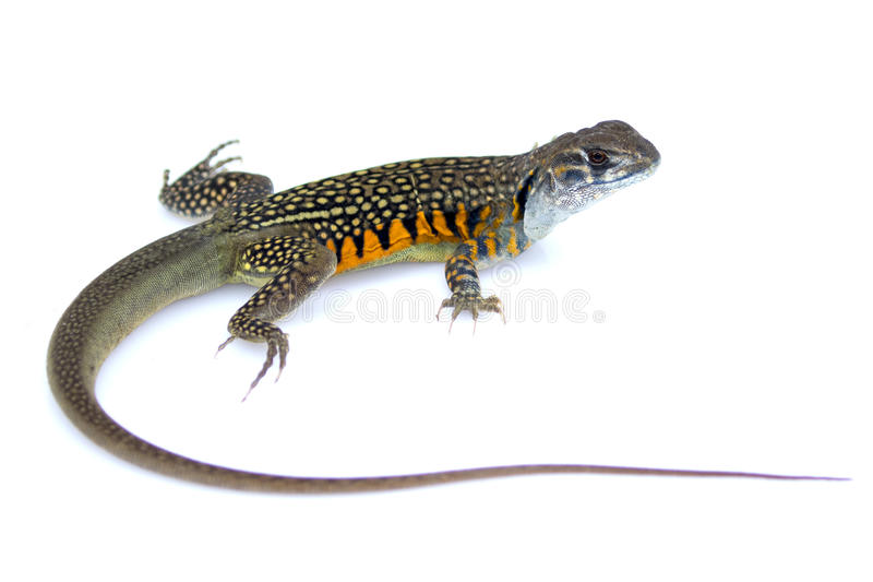 Image of Butterfly Agama Lizard Leiolepis Cuvier stock photo