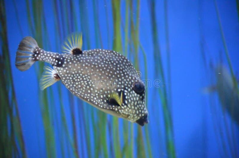Image captivante de Trunkfish repéré noir et blanc photos libres de droits