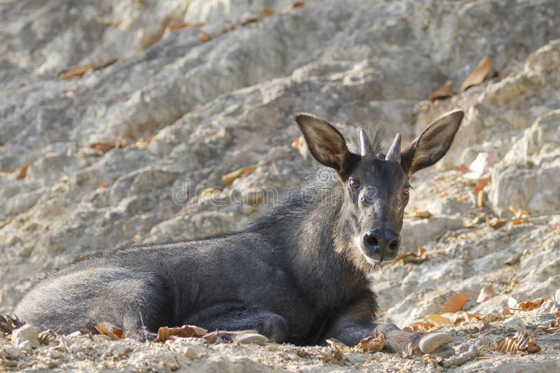 Image of chamois on the rocks. stock photos