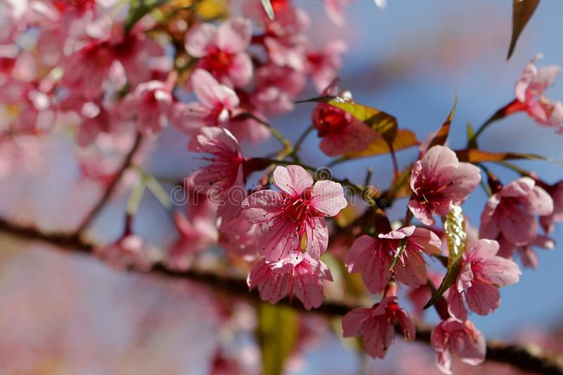Close up image of thai sakura bouquets flowers and blue sky background royalty free stock image
