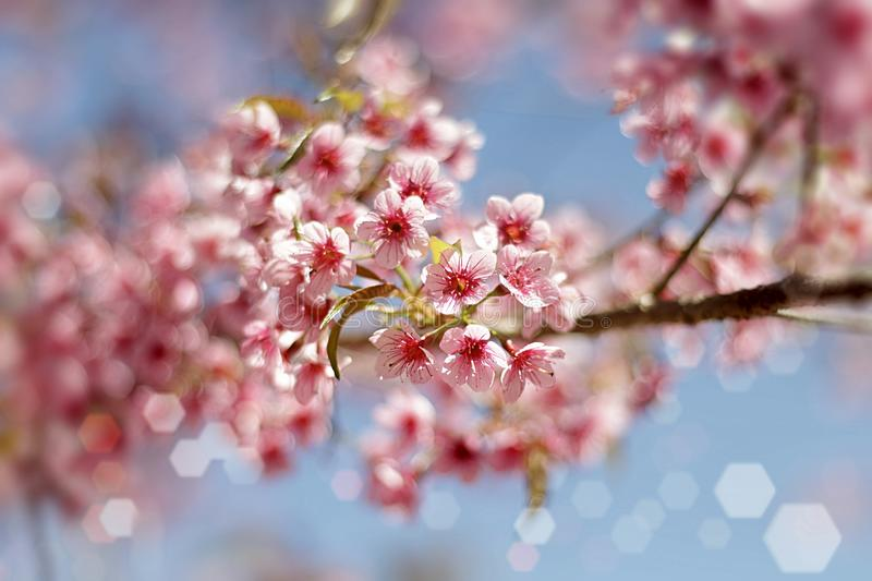 Close up image of thai sakura bouquets flowers and blue sky background stock photo