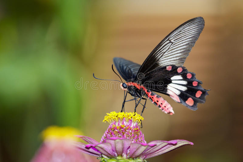 Image of Common Rose Butterfly on nature background. Insect stock image