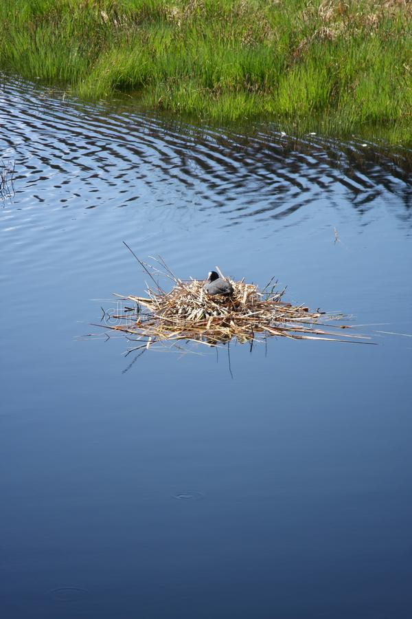 Coot in its nest on the water stock images