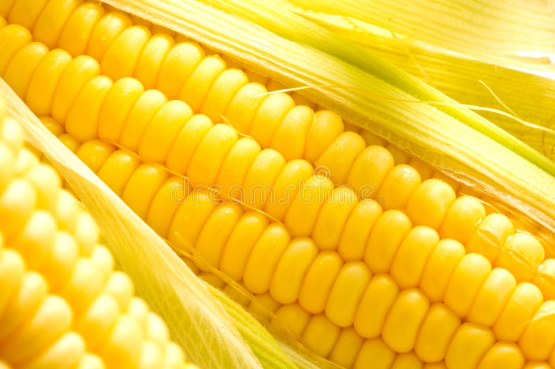 Image of Corn ears royalty free stock image