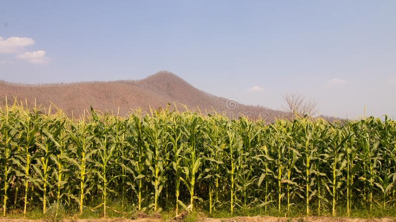 Image of CORN PLANT IMAGE royalty free stock photo