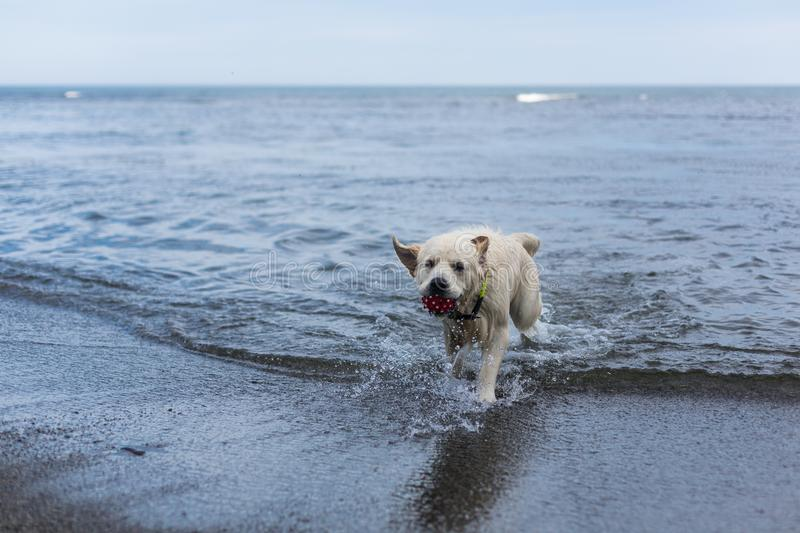 Portrait of a cute dog breed golden retriever with the ball in his mouth has fun on the beach. Image of a cute dog breed golden retriever with red ball in his stock photos