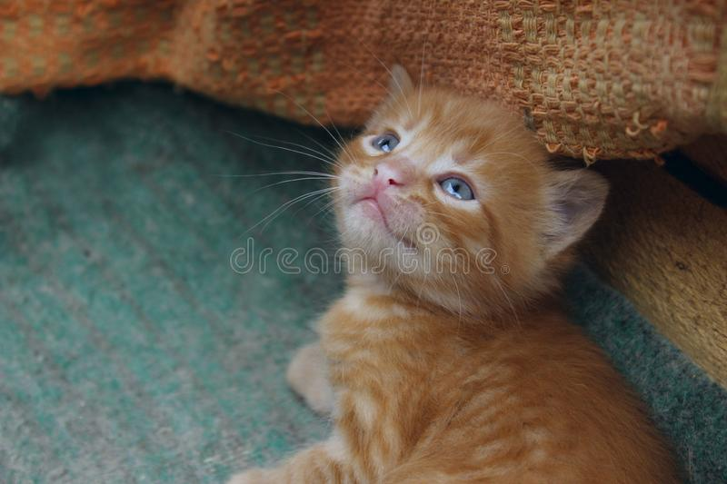 image of cute red tabby kitten. Animals day, mammal, pets concept. stock photography