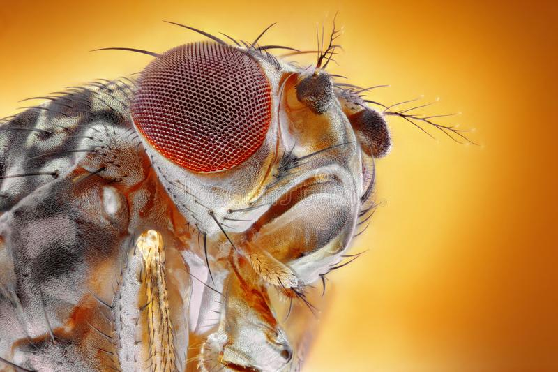 Macro de mouche à fruit photo libre de droits