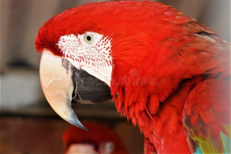 Image d'ara rouge photo libre de droits