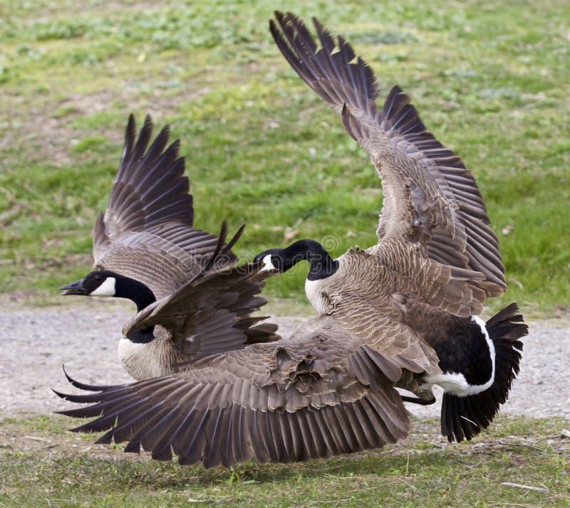 Image d'isolement avec un combat entre deux oies de Canada photos stock