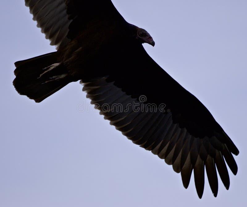 Image d'isolement d'un vautour dans le ciel images stock