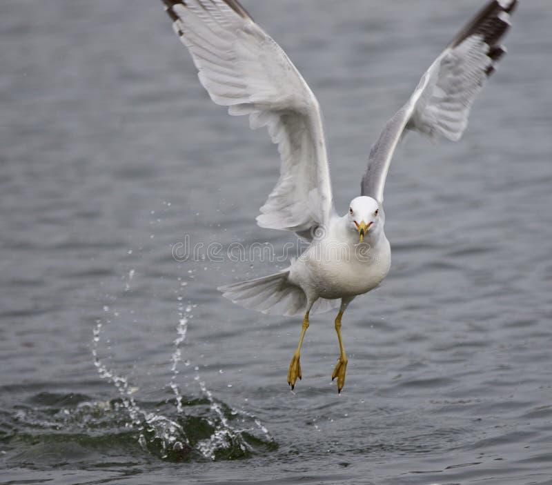 Image d'isolement d'une mouette décollant de l'eau photos libres de droits