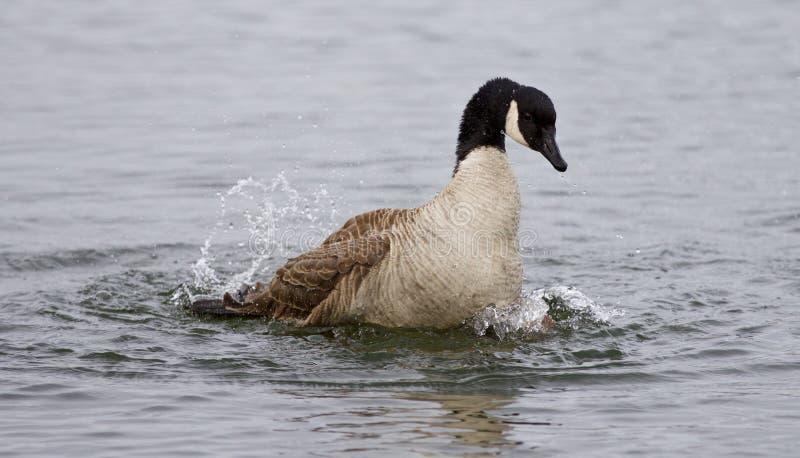 Image d'isolement de l'oie expressivement de natation de Canada images libres de droits