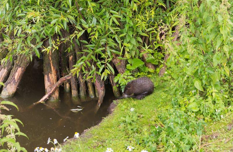 Image d'un castor sur la rive d'un étang image libre de droits