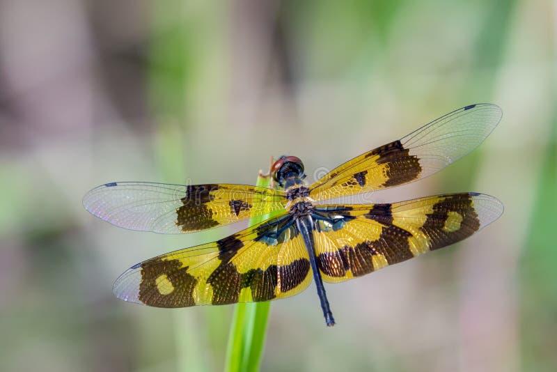 Image d'un variegata de Rhyothemis de libellule photographie stock libre de droits