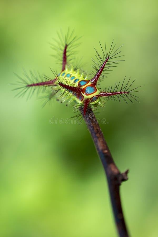 Image d'une chenille de tasse d'acacia sur le fond de nature insecte image stock
