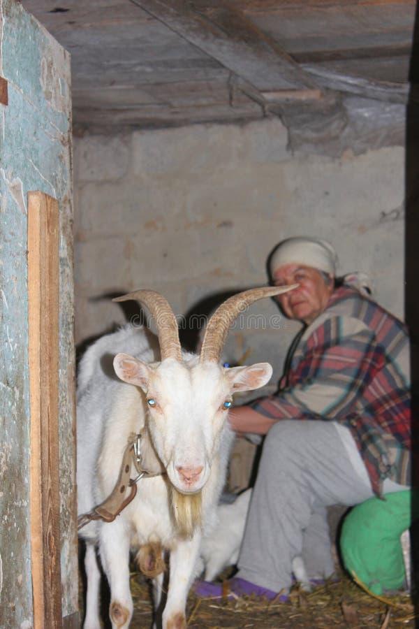Image d'une femme agée qui trayant une chèvre dans une grange images libres de droits