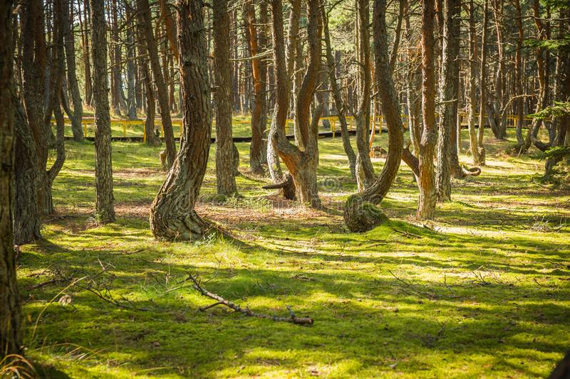 Dancing forest at Curonian spit in Kaliningrad region in Russia. Image of dancing forest at Curonian spit in Kaliningrad region in Russia royalty free stock photo