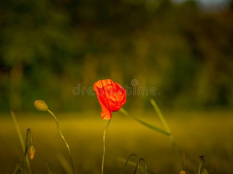 Image de belle fleur rouge de pavot avec le fond trouble image stock